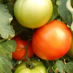 DSCN0644 round red tomatoes