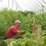 DSCN0958 Harry harvesting heirlooms