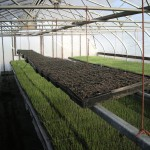 Onion transplants starting in the greenhouses.